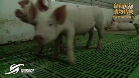 半岛电视台采访京鹏环宇畜牧承建华盛江泉猪场