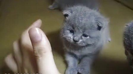 新生 CAA 蓝色 英国短毛猫 苏格兰折耳猫 宝宝 英短 阿细