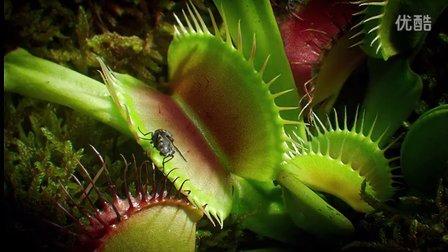 植物也疯狂-邪恶的捕蝇草抓虫子-BBC植物王国之食虫植物精选