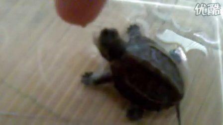 猎人BBZ的宠物龟