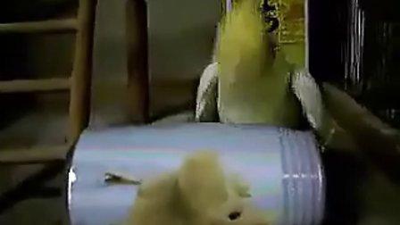 搞笑动物 鹦鹉看见异性了!