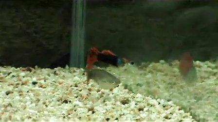 孔雀鱼交配过程
