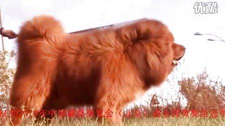 精品藏獒——红利视频