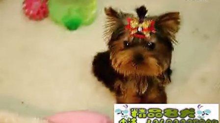 小越越约克夏犬多少钱济南约克夏价格多少钱一只哪里卖