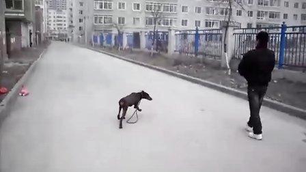 卖狗 配种