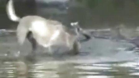 搞笑动物 抓鱼狗