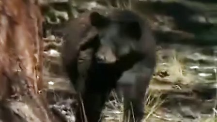 美洲狮将黑熊从树上抓下