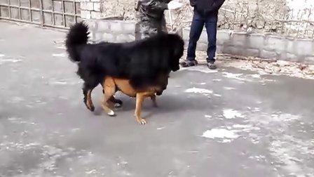 藏獒PK比特犬1