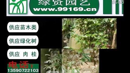 肉桂|供应肉桂|供应绿化树|肉桂树报价|肉桂树价格|公司|企业|花木场|中国肉桂|玉桂|牡桂|菌桂