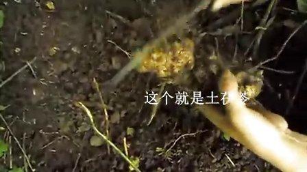 采挖野生土茯苓的过程及土茯苓功效