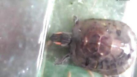 巴西龟捕食活鱼 ,珍珠蜥捕食活面包虫