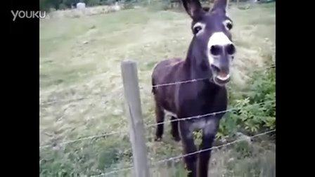 这头驴在叫啥呢 搞笑动物
