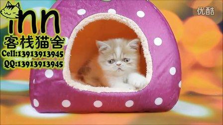 南京客栈猫舍奶油加菲猫 异国短毛猫 宠物猫咪短毛猫