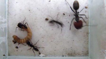 蚂蚁大战-红头弓背VS横纹齿猛蚁