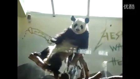 《海瑟》的病毒视频,这只大熊猫在干什么? 从来没见过这样的大熊猫