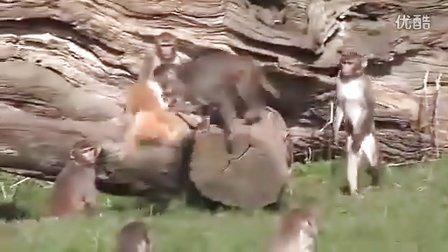 天哪这群猴子成精了吗?