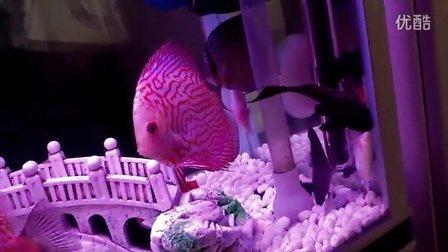 清道夫真的把鱼咬吸了55555(清道夫真的会吃鱼)