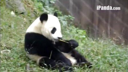 2013116 莉莉喂奶奥胖吃竹竹熊猫