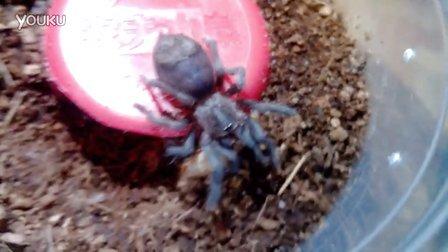 幼体墨西哥红尾捕鸟蛛抱着面包虫成虫啃