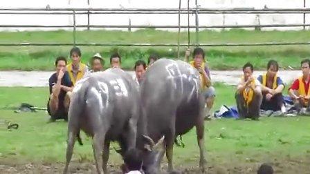创立个人网站电影2011年中国西部斗牛争霸赛