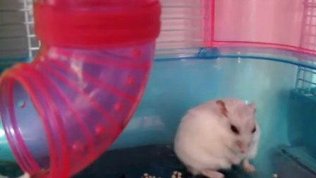 【可爱小仓鼠】笨白写真