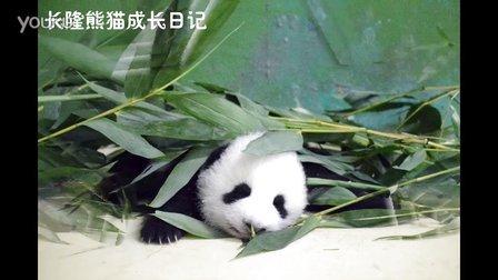 熊猫日记第86集