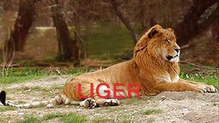 比山寨版狮虎兽强悍N倍的各种让人大开眼界的国外杂交动物