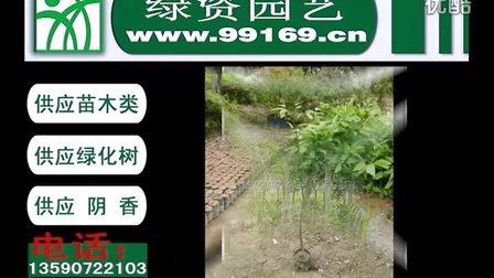视频:阴香 供应阴香树 供应绿化树 阴香报价 阴香树价格 公司 企业 花木场 坎香草