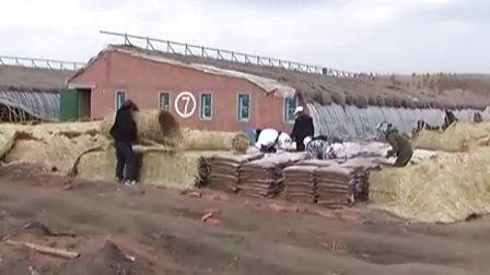 鄂伦春自治旗乌鲁布铁镇乌讷猎民村滑子菇基地生产过程