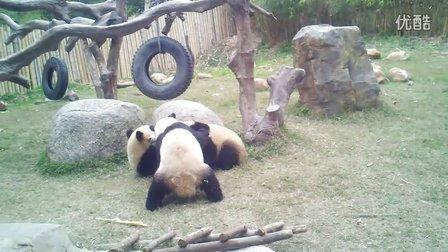 两只流氓熊猫欺负另一只熊猫