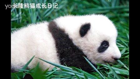 熊猫日记第91集