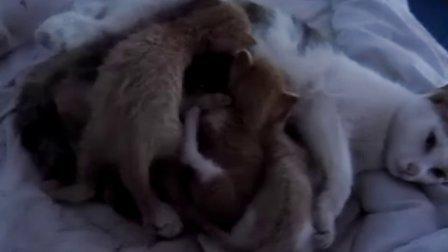 (猫片)  小猫吃奶。。。