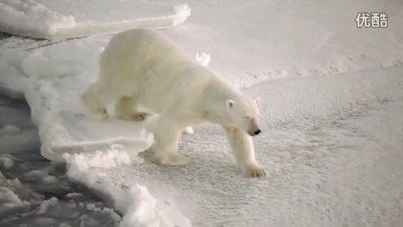 无敌可爱的北极熊!2011年9月最新摄录!