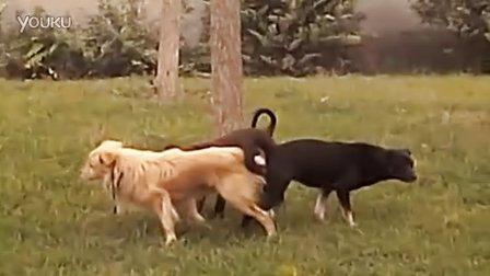 三只小狗狗交配