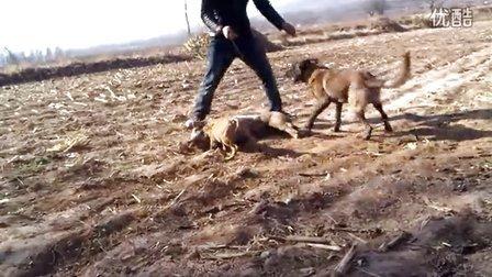 狗咬猪胆小的不要近