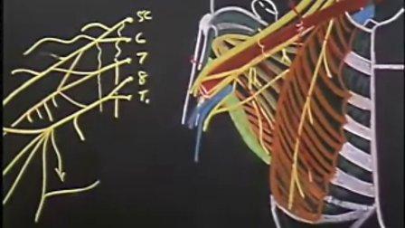 [斯坦福大学开放课程:临床解剖学].11.7B.