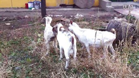 一个母羊和四个公羊的故事