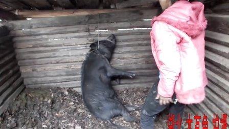 这次真的杀猪了!
