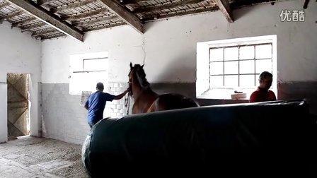 马匹繁育 公马采精过程