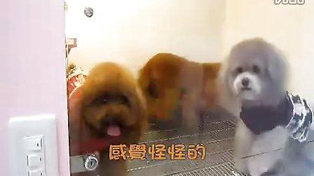 金毛犬随行训练- 基础篇www.jmakc.com北京金毛犬舍