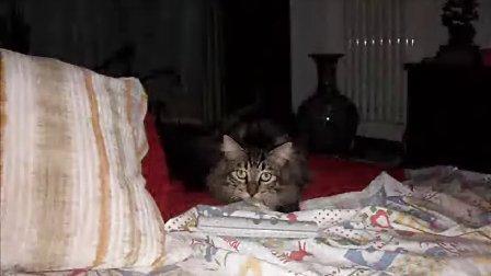西伯利亚森林猫--来福福