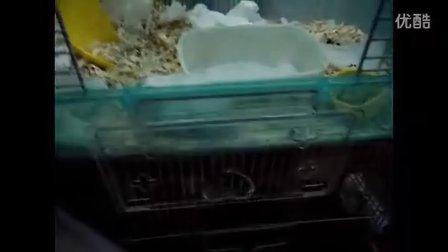 仓鼠绵绵咬笼子