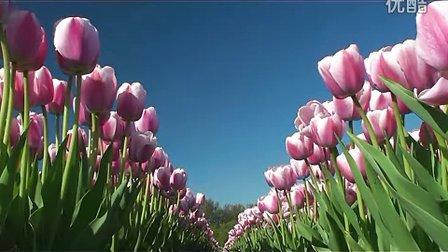 郁金香,郁金香花丛,种植郁金香,粉色郁金香,郁金香花园,郁金香农场视频素材,来自西橘网