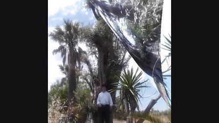 西班牙油橄榄树