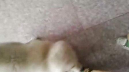 有恋脚癖的萨摩耶狗狗!!!