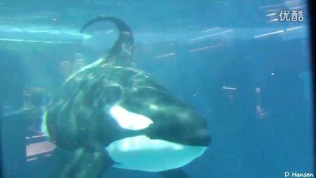 海洋世界之水下观鲸Underwater View Of Whales At SeaWorld USA