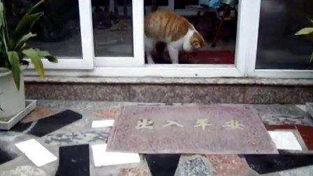 玩鞋带的大猫咪