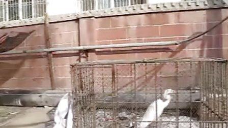 阿克苏网推荐:我们在行动、救助白鹭视频