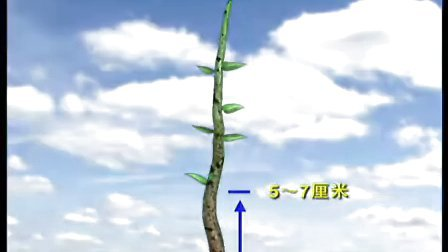 烟台大樱桃无公害种植技术