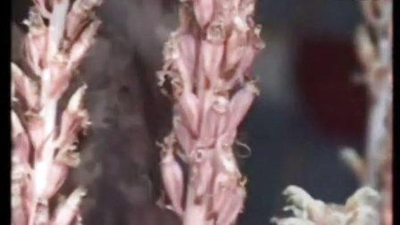 天麻种植技术-乌红杂交天麻种植技术 3